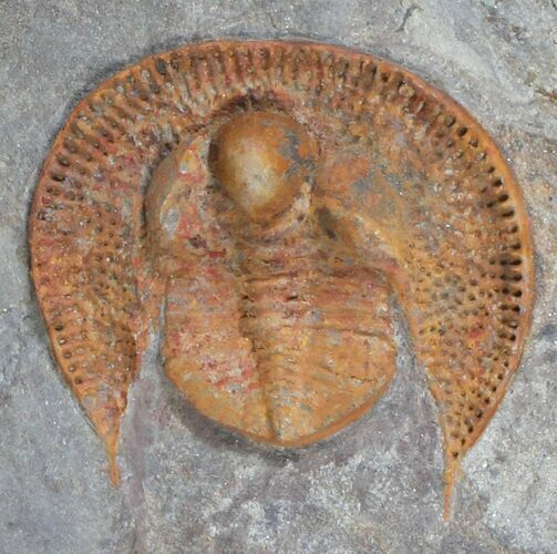 "1.2"" Orange Nankinolithus Trilobite - (Special Price)"