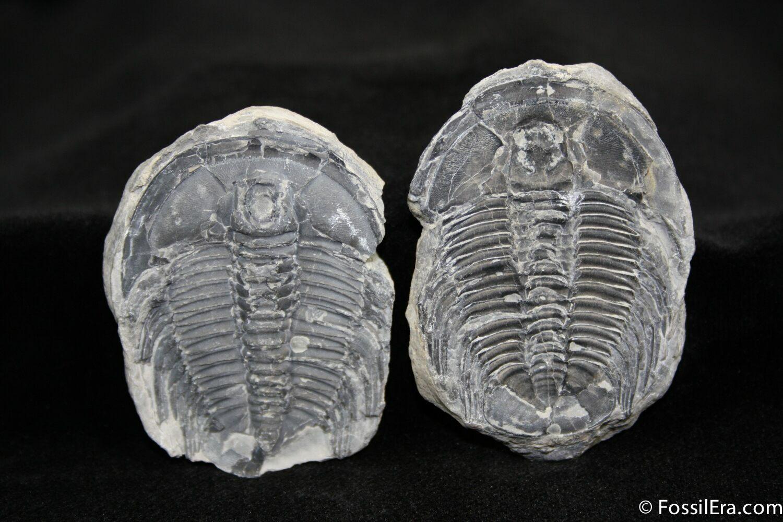 1 95 Inch Labiostria Trilobite In Nodule For Sale 1219
