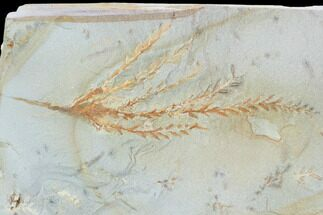 "3.2"" Fossil Cypress Leaf (Taxodium) - Montana For Sale, #101885"