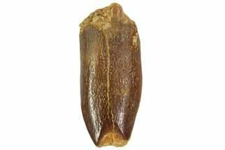 "1.05"" Rebbachisaurus Tooth - Sauropod Dinosaur For Sale, #102044"