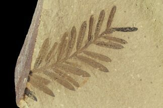 Metasequoia (Dawn Redwood) - Fossils For Sale - #102306