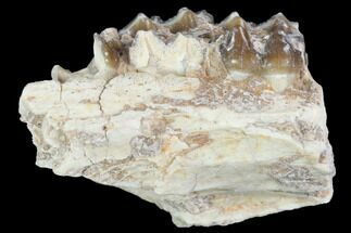 "1.5"" Oligocene Horse (Mesohippus) Jaw Section For Sale, #101876"