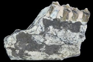 "Buy 2.2"" Oreodont (Leptauchenia) Jaw Section - South Dakota - #101830"