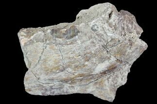 "2.1"" Oreodont (Leptauchenia) Jaw Section - South Dakota For Sale, #101831"