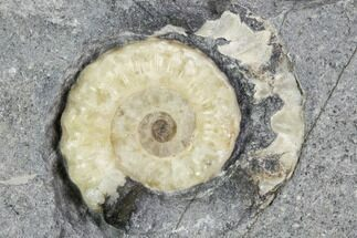 ".78"" Agatized Ammonite (Promicroceras) Fossil - Lyme Regis For Sale, #102884"