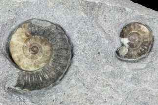 Agatized Ammonite (Promicroceras) Fossils - Lyme Regis For Sale, #102887