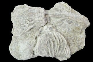 Buy Two Crinoid (Rhodocrinites) Fossils on Rock - Gilmore City, Iowa - #102970