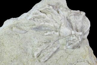 "Buy .7"" Crinoid (Cercidocrinus) Fossil on Rock - Gilmore City, Iowa - #102973"