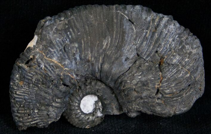 Partial Pyritized Ammonite From Russia - 1.8""