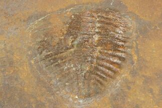 ".73"" Partial Ogyginus Cordensis - Classic British Trilobite For Sale, #103115"