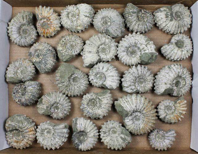 Lot: 5Kg Bumpy Ammonite (Douvilleiceras) Fossils - 26 pieces