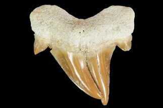 "1.1"" Pathological Otodus Shark Tooth - Morocco For Sale, #103604"