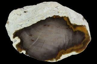 Sequoia - Fossils For Sale - #103884
