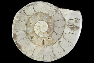 Hildoceras sp. - Fossils For Sale - #103995