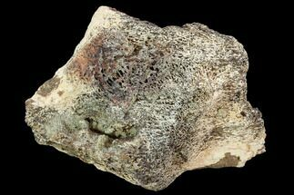 "4.1"" Triceratops Bone Section - Montana For Sale, #104153"
