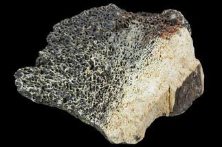 "Buy 2.0"" Triceratops Bone Fragment - Montana - #104203"