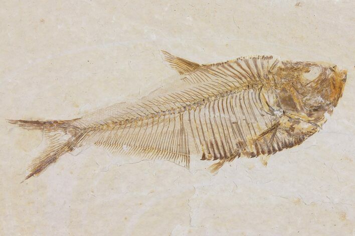"3.2"" Diplomystus Fossil Fish - Wyoming"