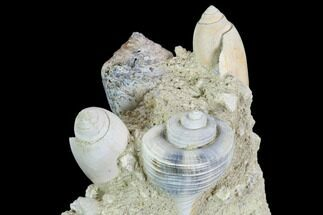 "Buy 3.6"" Tall, Miocene Fossil Gastropod Cluster - France - #104137"