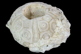 "Buy 1.5"" Fossil Sea Urchin (Drocidaris) - Morocco - #104503"