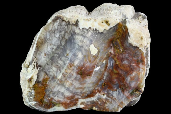 "4.1"" Petrified Wood (Araucioxylon) - Circle Cliffs, Utah"