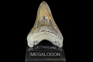 "Buy Serrated, 4.9"" Fossil Megalodon Tooth - Georgia - #104986"