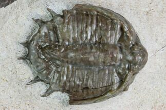 "Buy .71"" Basseiarges Trilobite - Jorf, Morocco - #105352"