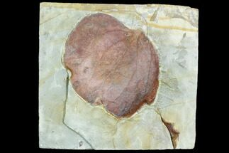 Zizyphoides flabellum - Fossils For Sale - #105225