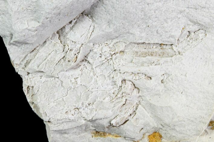 Partial Fossil Pea Crab (Pinnixa) From California - Miocene