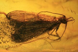Detailed Fossil Caddisfly (Trichopterae) In Baltic Amber For Sale, #105455