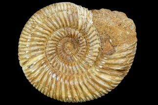 Perisphinctes sp. - Fossils For Sale - #104949