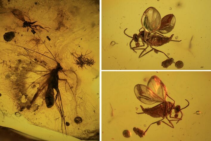 Three Detailed Fossil Flies (Diptera) In Baltic Amber