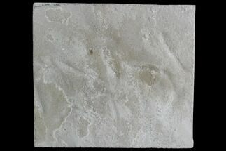 Buy  2 Fossil Bird Tracks - Green River Formation, Utah - #105535