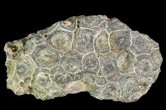 "3.9"" Fossil Coral (Actinocyathus) Head - Morocco For Sale, #105704"