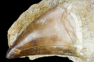 "2.1"" Mosasaur (Prognathodon) Tooth In Rock - Nice Tooth For Sale, #105848"