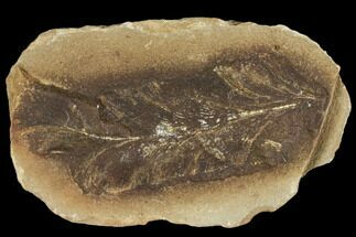 "3.1"" Neuropteris Fern Fossil - Mazon Creek For Sale, #106055"