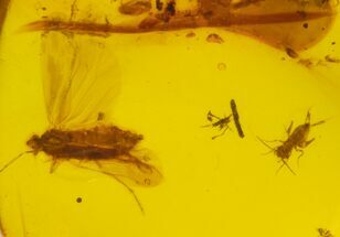 Buy Cretaceous Flies, Moth & Cricket in Amber - Myanmar - #105949