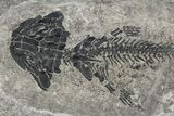 "6.4"" Discosauriscus (Early Permian Reptiliomorph) - Czech Republic - #106346-2"