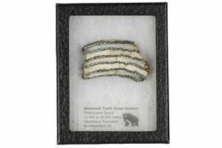 Mammuthus columbi - Fossils For Sale - #106488
