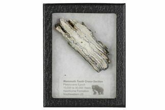 "Buy 3.6"" Mammoth Molar Slice With Case - South Carolina - #106489"