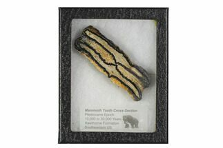 Mammuthus columbi - Fossils For Sale - #106434