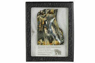 Mammuthus columbi - Fossils For Sale - #106479