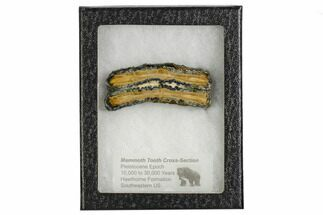 "Buy 2.8"" Mammoth Molar Slice With Case - South Carolina - #106525"