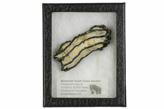 "Buy 3.3"" Mammoth Molar Slice With Case - South Carolina - #106531"