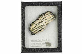 "Buy 3.1"" Mammoth Molar Slice With Case - South Carolina - #106540"