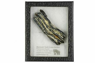 "Buy 3.7"" Mammoth Molar Slice With Case - South Carolina - #106546"
