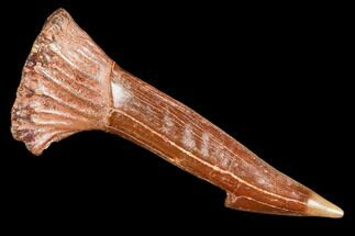 "1.4"" Fossil Sawfish (Onchopristis) Rostral Barb- Morocco For Sale, #106466"