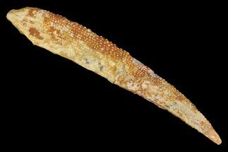 "Buy 6.0"" Fossil Shark (Asteracanthus) Dorsal Spine - Morocco - #106579"