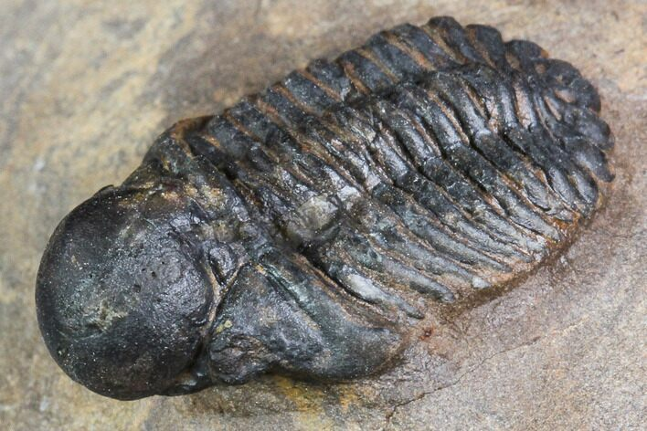 ".9"" Bubble Nose Actinopeltis Trilobite - Rare Species"
