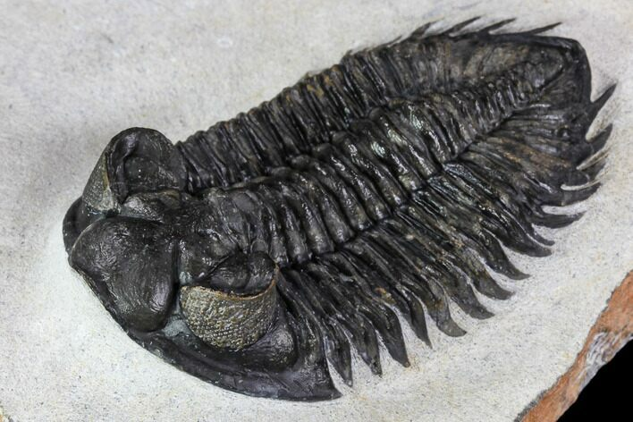 "2.75"" Coltraneia Trilobite Fossil - Huge Faceted Eyes"