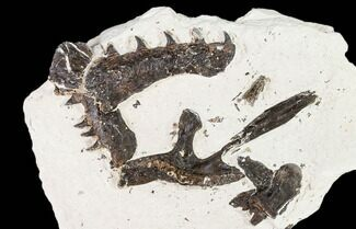 Unidentified Mosasaur, Pycnodus sp.  - Fossils For Sale - #107151